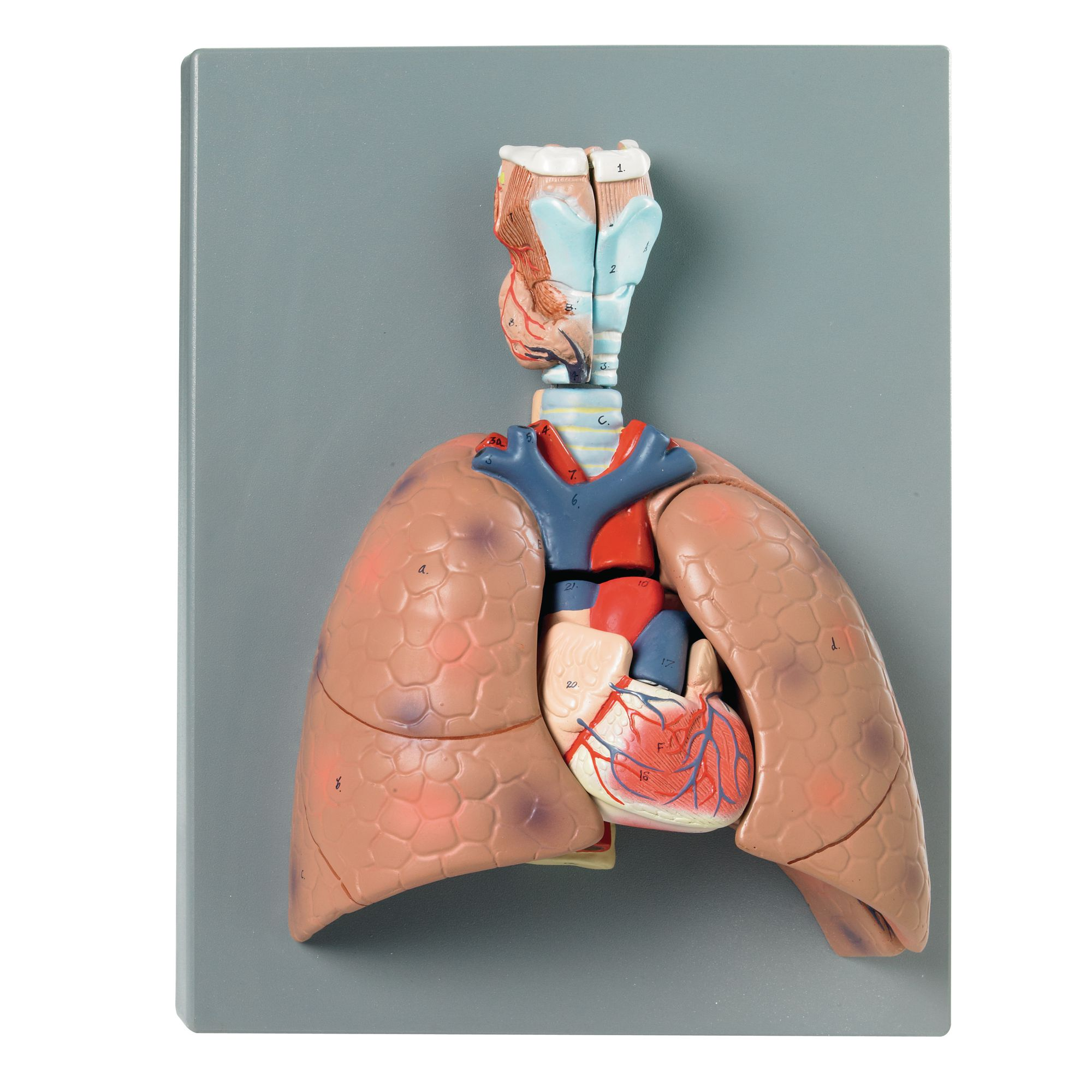 Human Lung Model Philip Harris