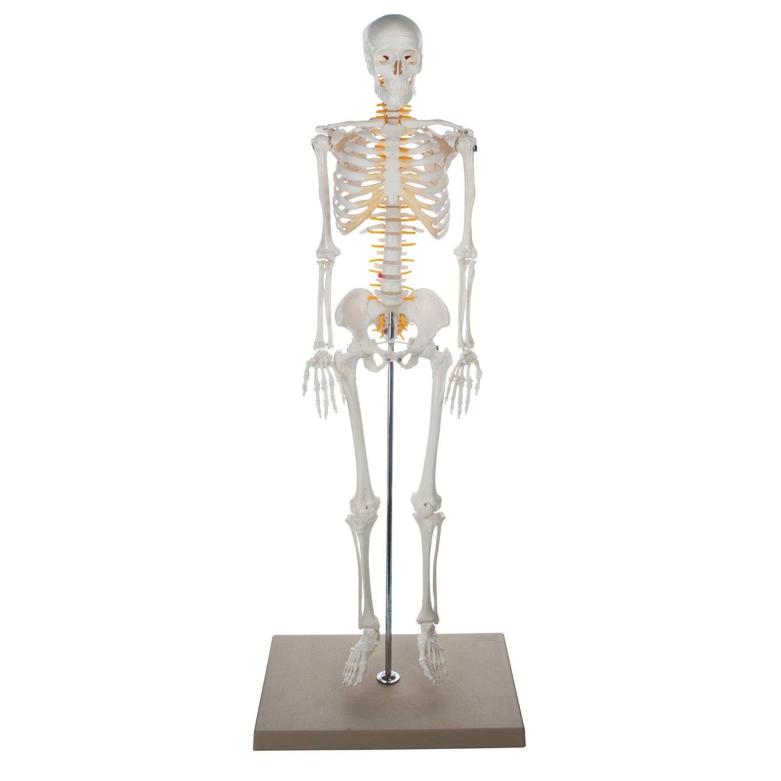 Half Size Skeleton Philip Harris