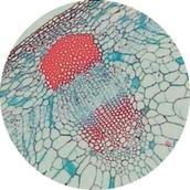 Prepared Microscope Slide Set - Environmental Adaptations of Plants