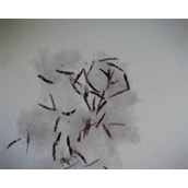 Prepared Microscope Slide - Euglena viridis