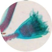 Prepared Microscope Slide - Hydra T.S.