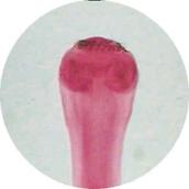 Prepared Microscope Slide - Liver Fluke (Fasciola hepatica) W.M.