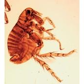 Prepared Microscope Slide - Mites W.M.