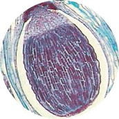 Prepared Microscope Slide - Club Moss (Mnium): Archegonial Head L.S.
