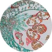 Prepared Microscope Slide - Fern (Dryopteris filix-Mas): Pinnule with Sori. T.S.