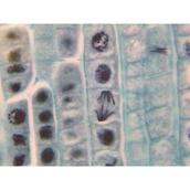 Prepared Microscope Slide  - Sunflower (Helianthus): Mature Root T.S.