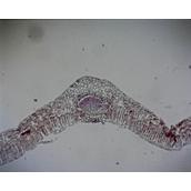 Prepared Microscope Slide - Privet (Ligustrum): Leaf T.S.