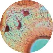 Prepared Microscope Slide - Intervertebral Disc: White Fibro-cartilage L.S.