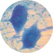 Prepared Microscope Slide - Peripheral Nerve T.S.