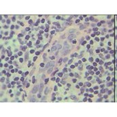 Prepared Microscope Slide - Human Thyroid Section