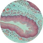 Prepared Microscope Slide - Stomach for Mucous, Parietal and Chief Cells