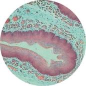 Prepared Microscope Slide - Mammal: Duodenum Section
