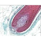 Prepared Microscope Slide - Human Scalp V.S.