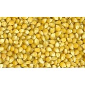 Laboratory Grade Seeds, Maize - 100g