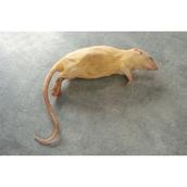 Preserved Rat Specimen (Rattus norvegicus)
