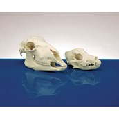 Model Animal Skull - Dog