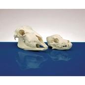 Model Animal Skull - Sheep