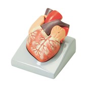 Heart Model - 2 Parts