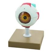 Economy Human Eye Model