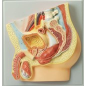 Human Male Reproductive System Model