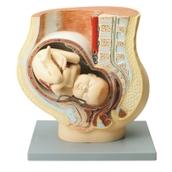 Human Foetus Model