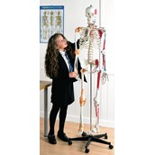 Human Skeleton, Muscular with Stand