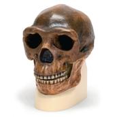 Hominid Skull - Homo erectus pekinensis