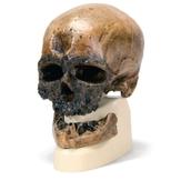Hominid Skull Model - Homo sapiens
