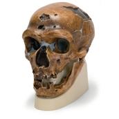 Hominid Skull - Homo neanderthalensis