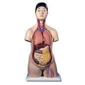 Human Torso Model (Dual Sex)