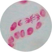 Prepared Microscope Slide - Allium Root Tip L.S.