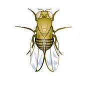 Drosophila: Wild Type, White Eye - Small Culture