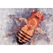 Drosophila: Wild Type, Scarlet Eye - Small Culture
