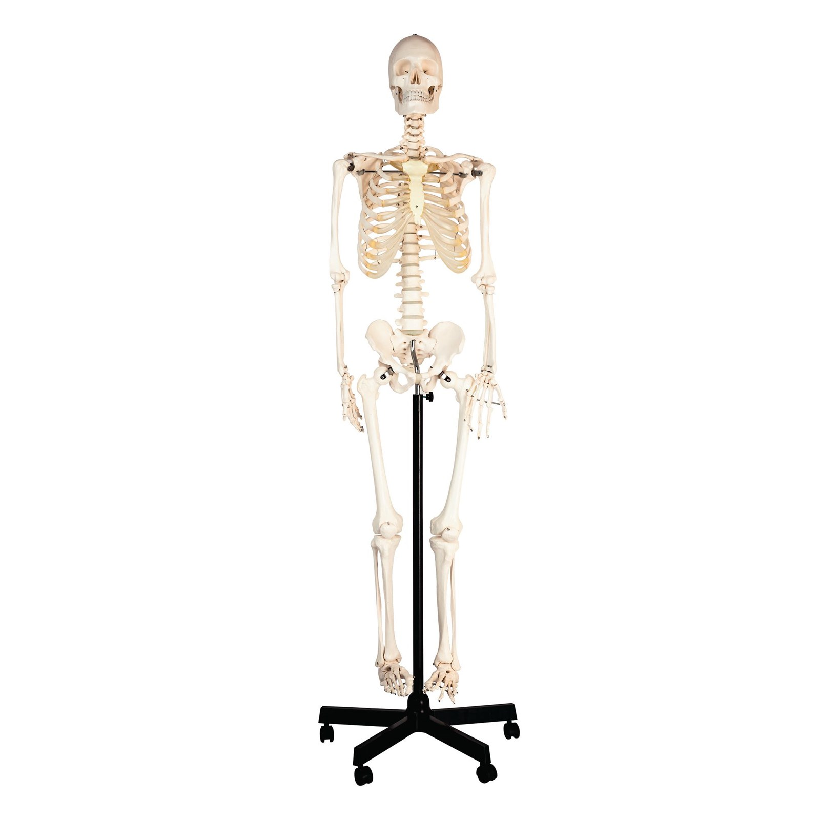 Human Skeleton With Stand Philip Harris