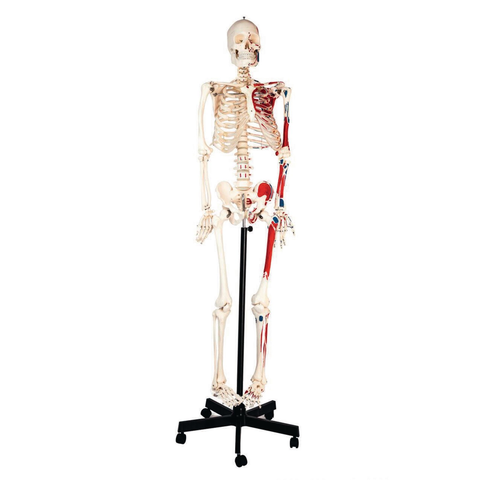Human Muscular Skeleton With Stand Findel International