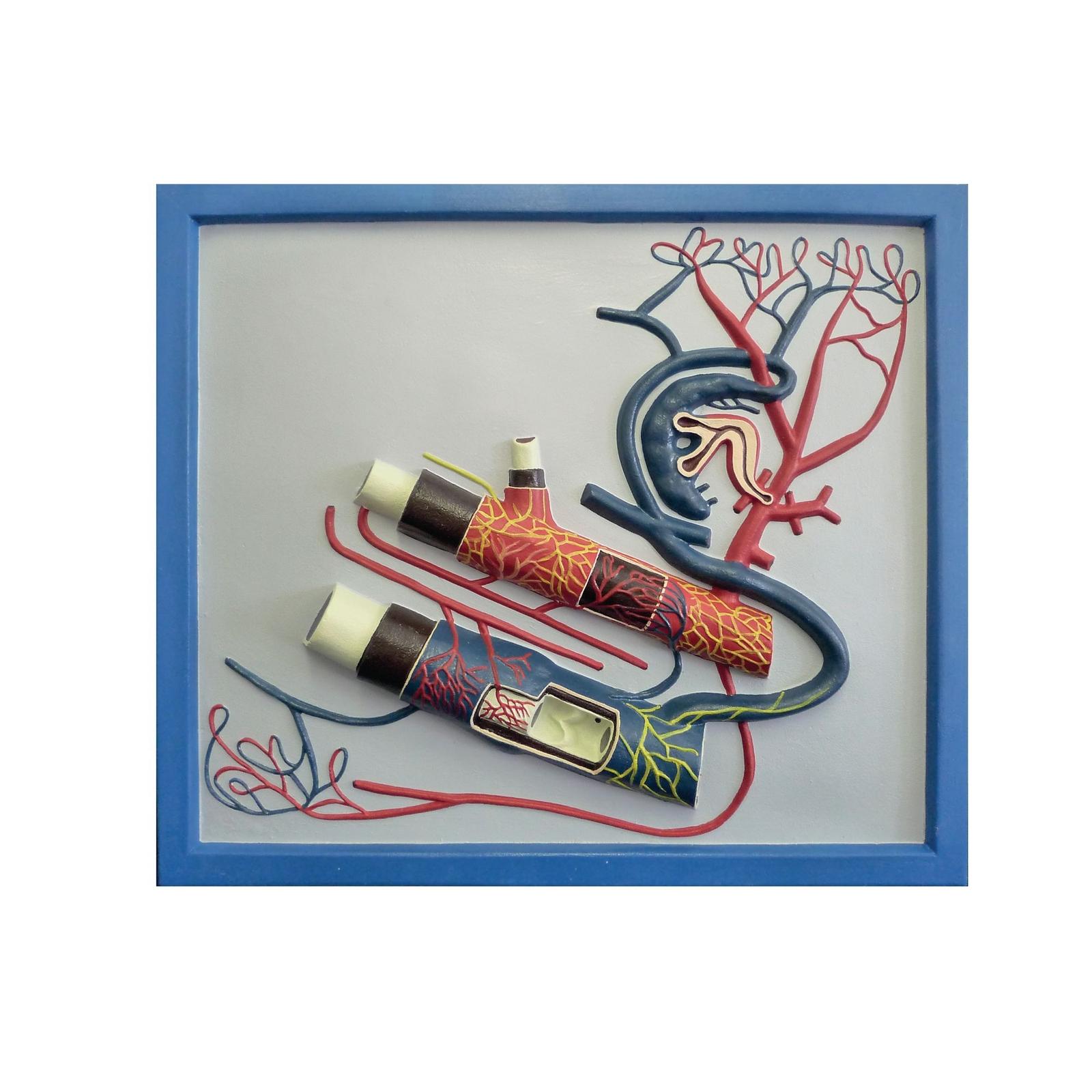 Vein And Artery Model Findel International
