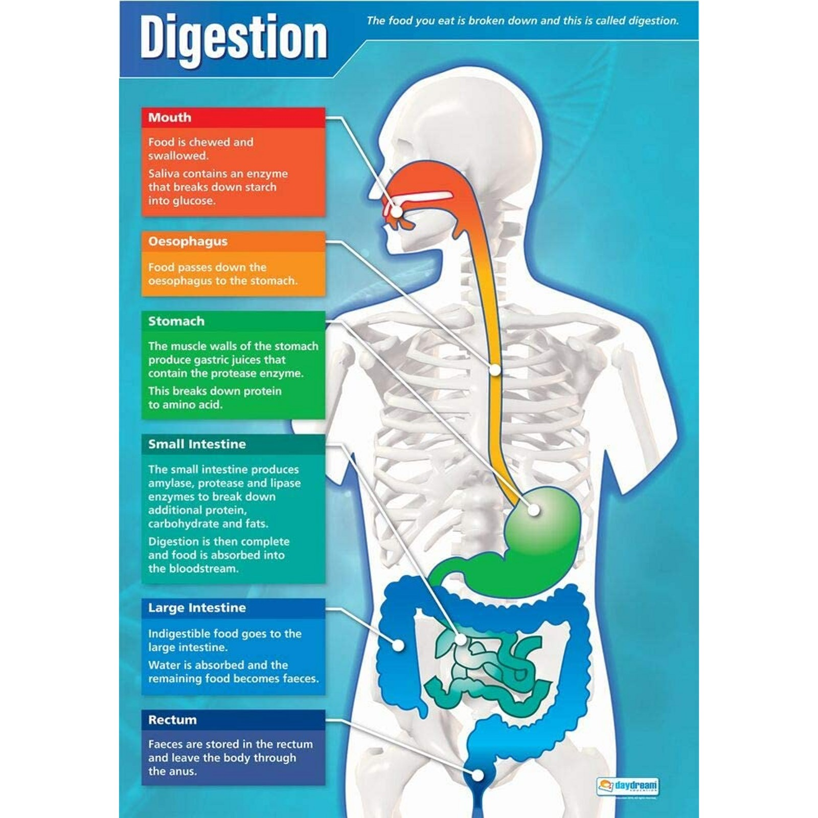 Digestion Poster